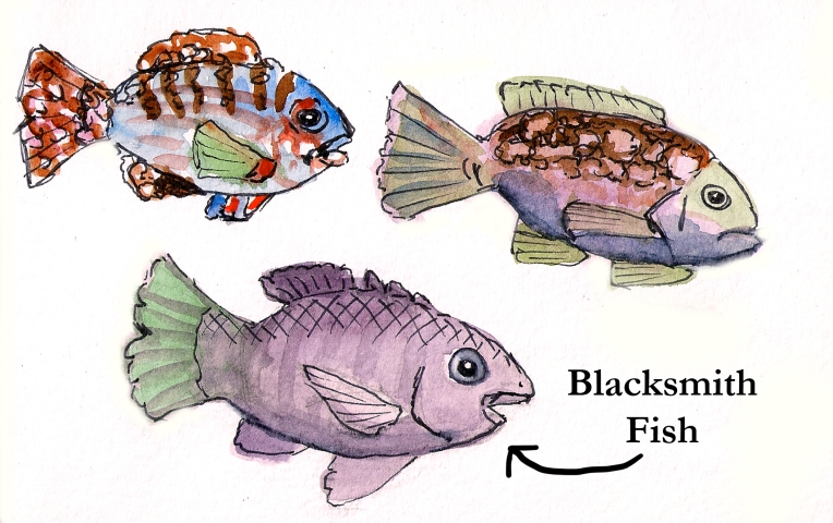 blacksmith fish