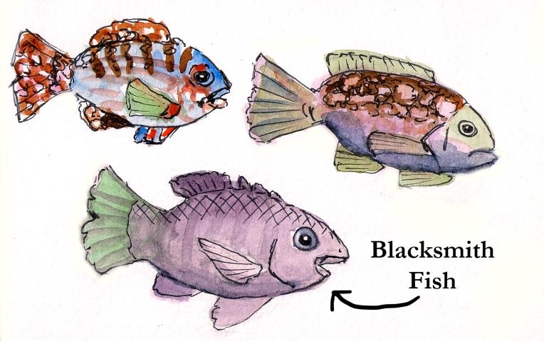 blacksmith fish