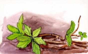 aquatic vines