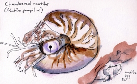 Chambered nautilus that became a plush toy